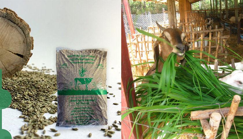 bao bì cỏ ghine mombasa