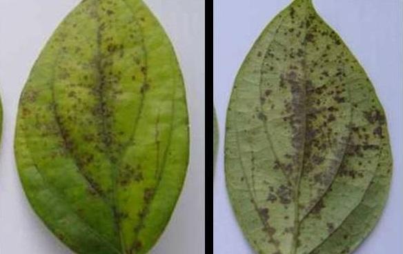 Bệnh thường gặp trên cây tiêu (video)