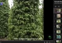 Bộ video kỹ thuật trồng và chăm sóc cây Hồ tiêu
