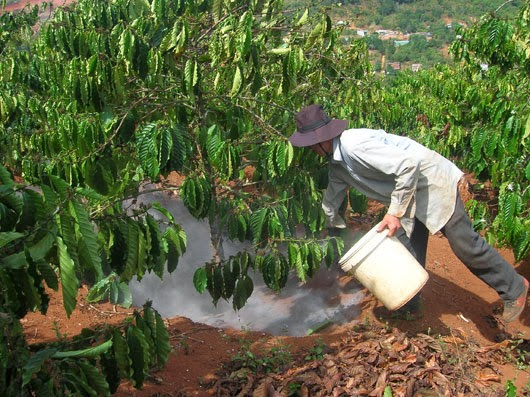 Kỹ thuật chăm sóc cây cà phê sau thu hoạch
