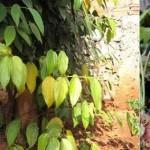 Cách khắc phục các dấu hiệu bệnh trên cây hồ tiêu (video)