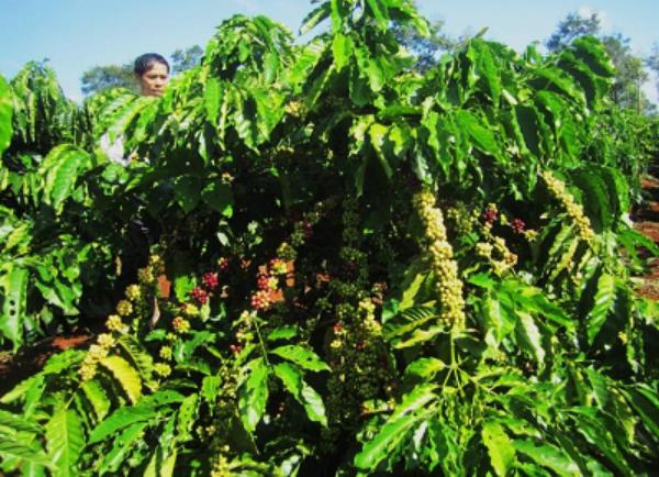 cây cà phê TRS1 vào mùa thua hoạch