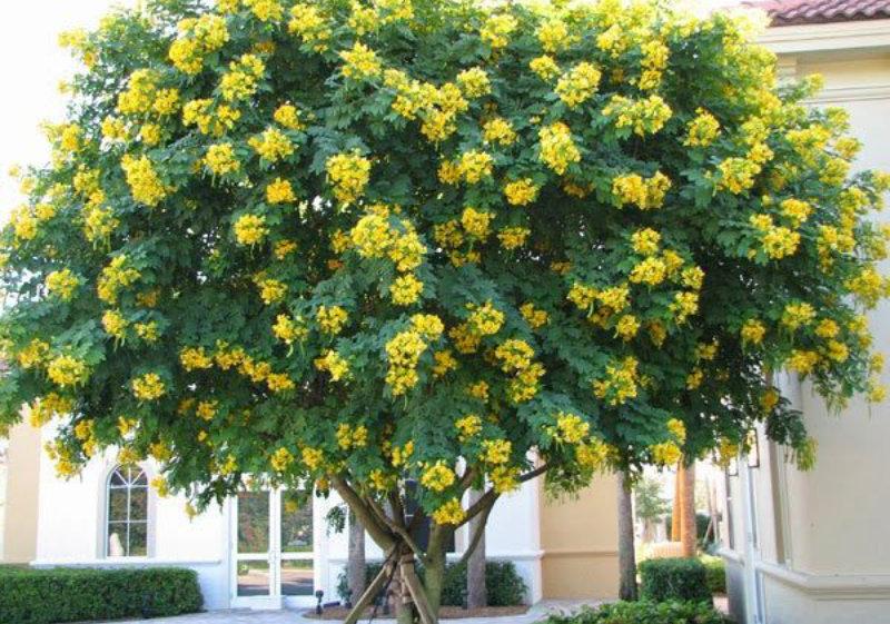 Cây muồng đen (muồng hoa vàng)