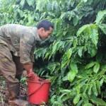 Chăm sóc cà phê vào đầu mùa mưa