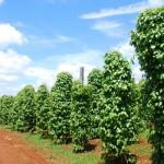 Quản lý dinh dưỡng cho cây tiêu (video)