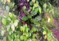 Phòng trị bệnh chết nhanh chết chậm đầu mùa mưa (video)