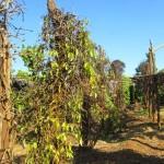 Biện pháp chăm sóc phòng trừ sâu bệnh trên cây tiêu (video)