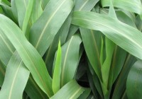 Kỹ thuật trồng và chăm sóc giống cỏ lai super BMR