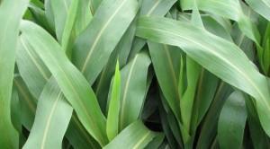giống cỏ Super BMR