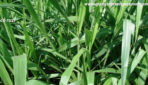 Kỹ thuật trồng và chăm sóc giống cỏ ruzi