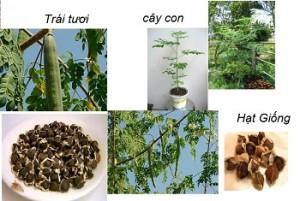 Hạt chùm ngây từ lúc ươm đến khi trưởng thành và lấy hạt