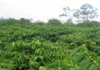 Dinh dưỡng cho cây cà phê vào mùa mưa (video)