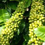 Giống cà phê lá xoài Hữu Thiên HT1