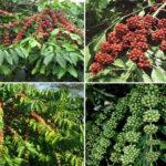 Thông báo về việc cung cấp hạt giống cà phê mùa vụ 2020