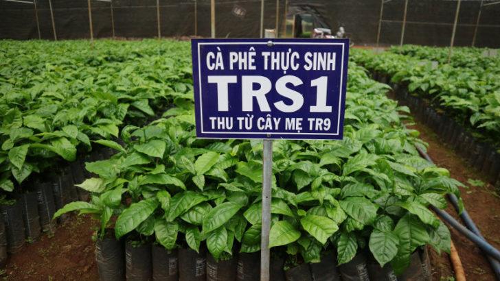 Giống cà phê vối lai TRS1