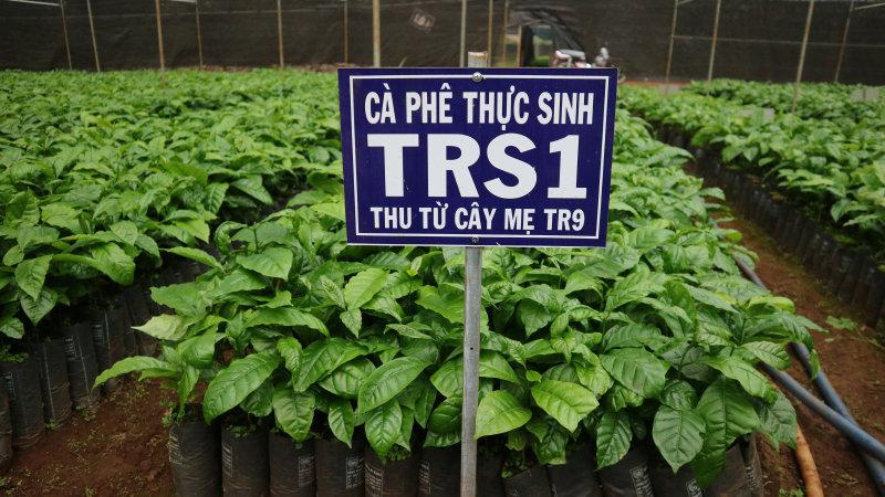 giống cà phê vối lai trs1 thu từ cây mẹ TR9