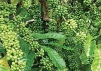 Vai trò các chất trung vi lượng đối với cây cà phê