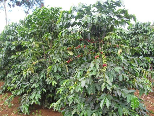 Tìm hiều về cây cà phê Arabica ( cà phê chè )