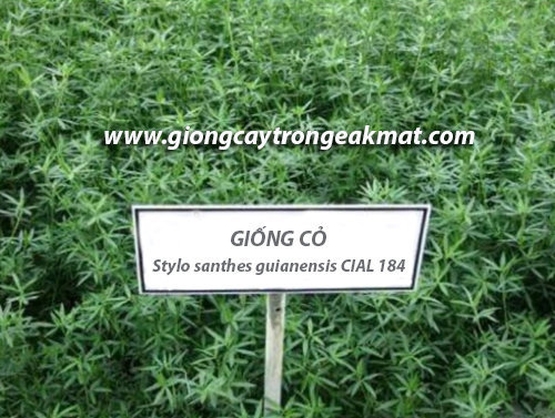 giong-co-Stylo-santhes-guianensis-CIAL-184