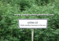 Kỹ thuật trồng và chăm sóc giống cỏ stylo