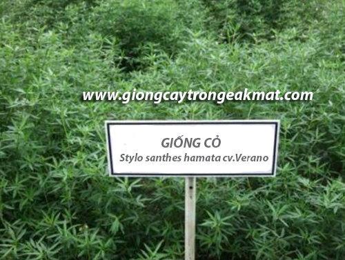 giong-co-Stylo-santhes-hamata-cv.Verano