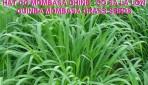 Hạt giống cỏ ghine giống cỏ tăng trưởng mạnh