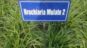 Giống cỏ Mulato 2