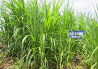 Hướng dẫn kỹ thuật trồng cỏ VA06