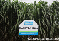Kỹ thuật trồng giống cỏ lai SWEET JUMBO
