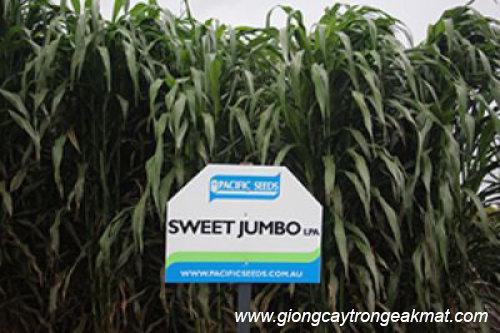 giong-co-voi-sweet-jumbo