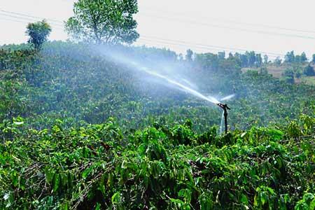 Quản lý dinh dưỡng cho cây cà phê trong điều kiện thời tiết bất thường ( video )