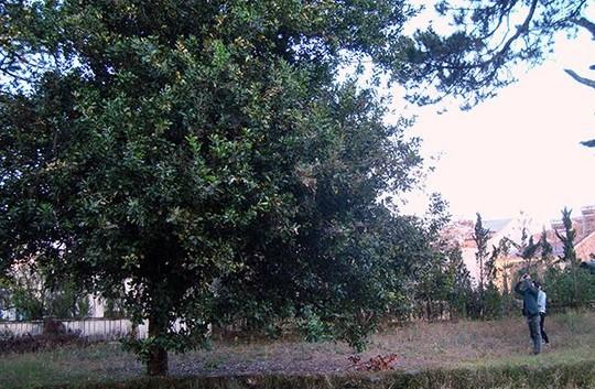 Tổng quan về cây mắc ca ở Việt Nam và trên thế giới