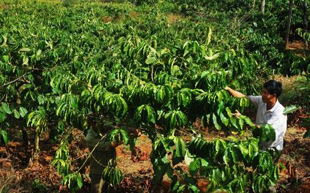 Phục hồi vườn cà phê sau thu hoạch (Video)