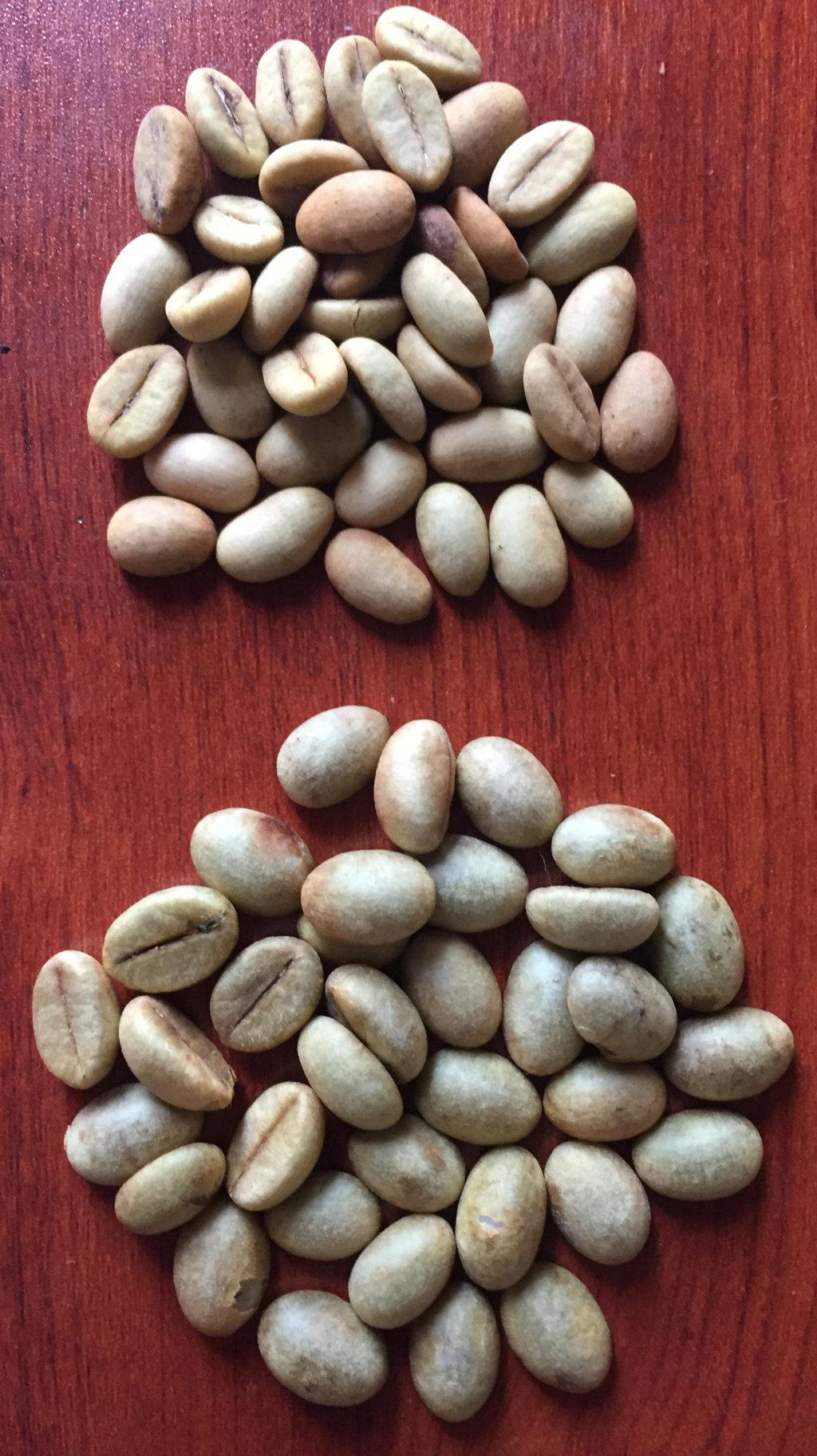 Hạt cà phê xanh lùn