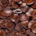 Bán hạt giống cây muồng đen