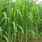 Một số giống cỏ năng suất cao dùng trong chăn nuôi gia súc