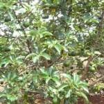 Hướng dẫn kỹ thuật trồng và chăm sóc cây bơ