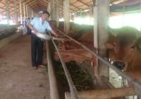 Kỹ thuật làm chuồng trại nuôi bò