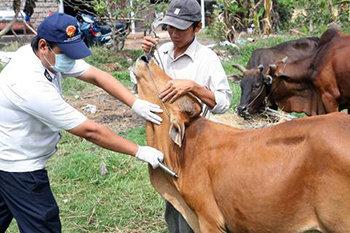 Tiêm thuốc phòng bệnh cho bò