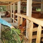 Kỹ thuật  nuôi bò nhốt chuồng hiệu quả cao