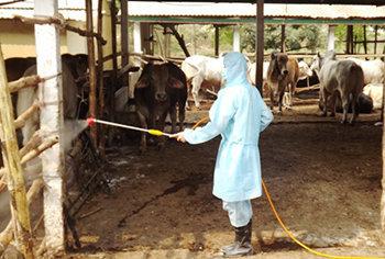 Tẩy ký sinh trùng cho bò