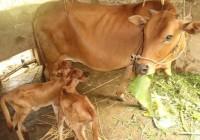 Kỹ thuật nuôi bò sinh sản và bê lai