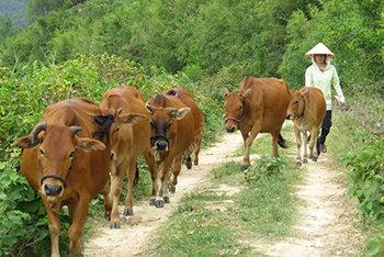 Hình thức chăn nuôi bò khá phổ biến hiện này