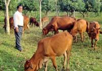 Kỹ thuật nuôi bò thịt năng suất cao