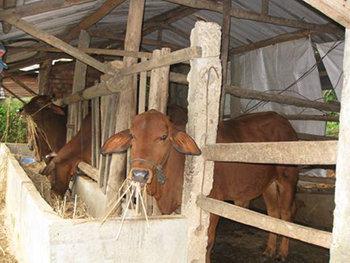 Hệ thống chuồng trại nuôi bò đơn giản hiện nay