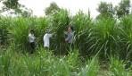 Kỹ thuật trồng cỏ nuôi bò