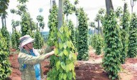 Kỹ thuật trồng hồ tiêu vào mùa mưa