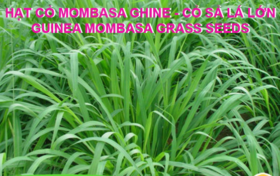 Kỹ thuật trồng và chăm sóc giống cỏ Guinea Mombasa
