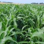 Hạt giống cỏ chăn nuôi