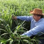 Kỹ thuật trồng và chăm sóc giống cỏ Mulato 2